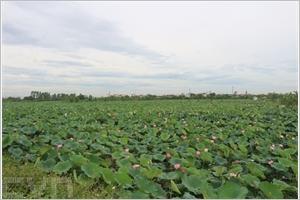 La saison des lotus