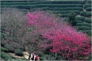 Fleurs de cerisier dans une plantation de thé au Fujian de la Chine