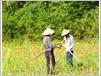Dans un champ de canne à sucre, qui rapporte aux cultivateurs la majorité de leurs revenus.