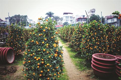 Tu Liên le village traditionnel des kumquats de Hanoï