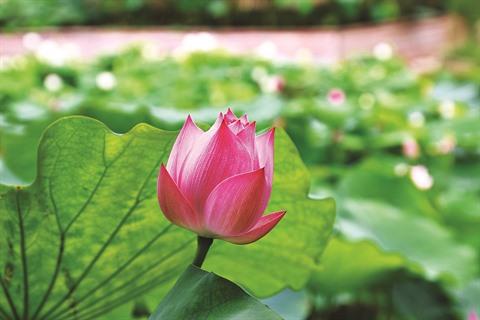 Lété la saison des lotus