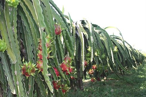 Binh thu n royaume des fruits du dragon le courrier du vietnam - Arbre fruit du dragon ...
