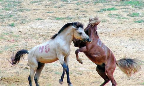La fête du combat de chevaux dans le district de Bac Quang, province de Hà Giang,