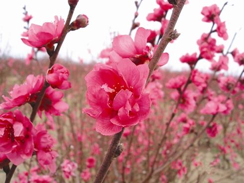 Inventaire Des Six Fleurs Les Plus En Vue Du Tet Le Courrier Du