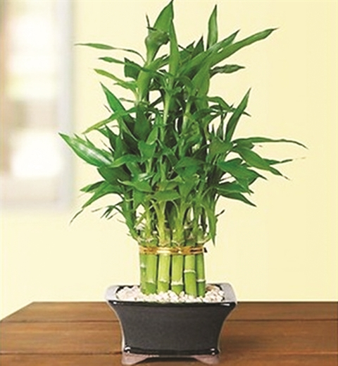 Plante Porte Bonheur plantes porte-bonheur populaires du nouvel an lunaire - le courrier