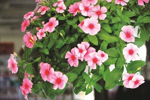 plantes porte bonheur populaires du nouvel an lunaire le courrier du vietnam. Black Bedroom Furniture Sets. Home Design Ideas