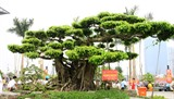 Vi Khê, le berceau de l'horticulture vietnamienne