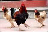 Coopération vietnamo-belge dans le développement des races de poulet locales