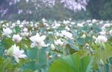 Un étang de lotus blanc en banlieue de Hanoï