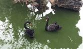 Un habitant de Hanoï fait l'acquisition de deux cygnes noirs