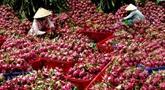 Exportation de pitayas en Chine