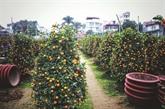 Tu Liên, le village traditionnel des kumquats de Hanoï