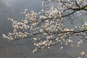 Le Festival de de fleurs de bauhinia 2021 aura lieu entre janvier et mainbsp