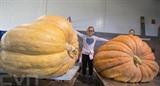 Concours de citrouilles géantes dans le comté de Bruce, en Ontario, au Canada, le 1er octobre. Photo : Xinhua/VNA/CVN