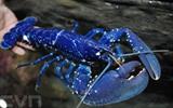 Un homard pêché dans la baie de Saint-Brieuc a échappé à la marmite grâce à sa couleur bleu roi très rare et a été remis le 19 avril à l'Aquarium d'Océanopolis à Brest. Photo : AFP/VNA/CVN