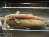 Photo d'un spécimen mâle de poisson des cavernes de 8,5 cm de long, reproduite avec l'aimable autorisation de l'un des principaux auteurs de cette découverte, Jasminca Behrmann-Godel de l'Université de Constance, en Allemagne. Photo : AFP/VNA/CVN