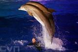 Des dauphins au parc Marineland d'Antibes (Alpes maritimes). Photo : AFP/VNA/CVN