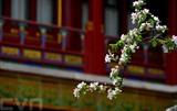 Des fleurs de pommier chinois au musée du Palais de Pékin, en Chine. Photo: Xinhua/VNA/CVN
