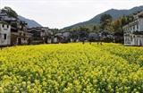Un champ de colza à Jiangxi, en Chine. Photo : Xinhua/VNA/CVN