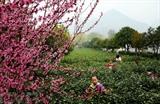 Ramassement du thé au Nord-Ouest de la Chine. Photo : Xinhua/VNA/CVN