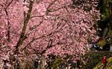 Des cerisiers se florissent le 6 mars au parc Yuantongshan, à Kunming, dans la province du Yunnan, en Chine. Photo : Xinhua/VNA/CVN