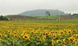 La région Nghia Dàn est magnifique en raison de millions de tounesols jaunes en floraison.<br /> &nbsp;<br /> Photo: Doan Tân/VNA/CVN<br /> <br />
