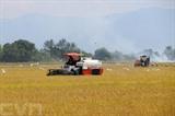Les agriculteurs de la province de Ninh Thuân (Centre) procèdent à la récolte de la campagne rizicole hiver-printemps.<br /> <br /> Photo: Cong Thu / VNA / CVN