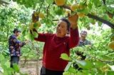 La récolte des abricots dans la province chinoise du Shanxi, le 8 mai. Photo: THX/VNA/CVN