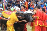 Soin des buffles avant la finale de la Fête des combats de buffles de Dô Son, Hai Phong (Nord). Photo: An Dang/VNA/CVN