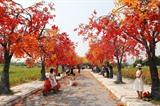 Nombreux sont ceux qui vont admirer les couleurs flamboyantes des érables rouges dans la rue Thach Câu, surnommée par les jeunes Hanoïens le chemin des érables. Photo : VNA/CVN