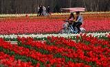 Un champ de tulipes dans la province chinoise du Henan (Centre).<br /> Photo: Xinhua/VNA/CVN