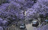 La spectaculaire floraison des flamboyants violets dans les rues de Kunming, en Chine. Photo: Xinhua/VNA/CVN