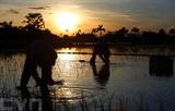 A cause de la chaleur accablante, les agriculteurs du district de Tiên Lu, province de Hung Yên (Nord), commencent à aller travailler dans les champs au crépuscule.