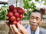 Une grappe de raisin Ruby Roman qui n'est cultivé qu'à Ishikawa au Japon, vendue 11.000 dollars aux enchères. Photo: AFP/VNA/CVN