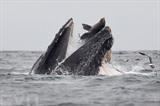 <br /> Un lion de mer tombe accidentellement dans la gueule d'une baleine à bosse dans l'océan Pacifique, au large de la Californie. Photo: AFP/VNA/CVN<br />
