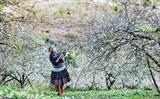 En venant dans la vallée de Mu Nau dans le chef-lieu de Môc Châu, province montagneuse septentrionale de Son La, les visiteurs peuvent admirer les pruniers en fleurs. Photo : VNA/CVN