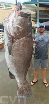 Un mérou de 160 kilos capturé en Floride avait 50 ans. Photo : AFP/VNA/CVN<br />
