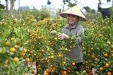 Une femme soigne les kumquats pour le Têt dans la commune de Tân Tiên, district de Van Giang, province de Hung Yên (Nord). Photo : Minh Quyêt/VNA/CVN<br />