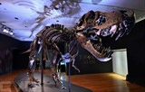 Le T-Rex Stan exposé chez Christie's, le 17 septembre 2020 à New York. Photo : AFP/VNA/CVN