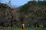 La fin de l'automne est un moment qui marque le début de la saison des kakis en Chine. Photo : Xinhua/VNA/CVN
