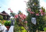 Les fleurs de cerisier campanulé rose foncé et densément groupées sur les rameaux sont fabuleuses lors de leur floraison. Photo : Trân Lê Lâm/VNA/CVN