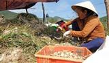 Récolte d'ail dans le district de Van Ninh, province de Khanh Hoa. Photo : Nguyên Dung/VNA/CVN