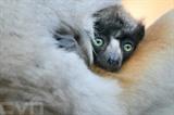 Une petite propithèque couronnée, espèce de lémurien de Madagascar classée en danger d'extinction. Photo : AFP/VNA/CVN<br />