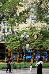 Entre la fin de février et le début de mars, Hanoï se couvre d'une beauté romantique car c'est la saison des fleurs de <em>sưa</em> (<em>dalbergia tonkinensis</em>).