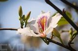 La bauhinie, une fleur typique du Nord-Ouest. Photo : VOV/CVN