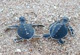 Deux petites tortues au Parc national de Nui Chua, dans la province de Ninh Thuân (Centre). Photo : VNA/CVN