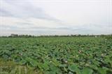 Les champs de lotus dans le chef-lieu de Duy Tiên, province de Hà Nam (Nord). Photo : VNA/CVN