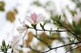 Les bauhinies (<em>hoa ban</em>) refleurissent dans le Nord-Ouest, signalant le printemps. Photo : Huu Quyêt/VNA/CVN