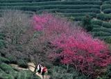 Fleurs de cerisier dans une plantation de thé au bourg de Yongfu à Zhangping, dans la province chinoise du Fujian. Photo: Xinhua/VNA/CVN<br /> <br />