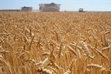 Un champ de blé à Karpenkovo, à environ 600 km au sud de Moscou, non loin de la frontière avec l'Ukraine. Photo : AFP/VNA/CVN